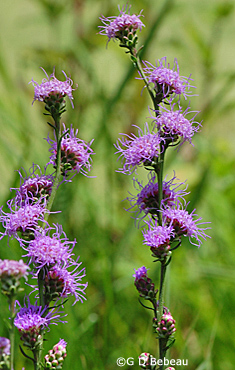 Rough Blazing Star stems