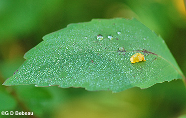 Spotted Jewelweed leaf