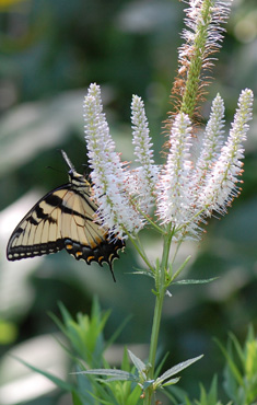 Swallowtail on Culver's Root