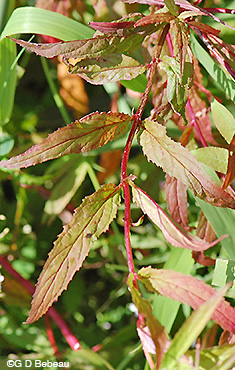Willowherb fall leaves