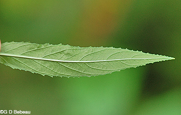 Willowherb leaf underside