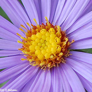 aromatic aster disk flowers