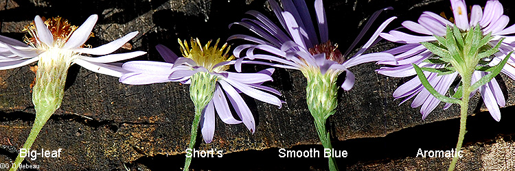 Blue aster phyllary comparison