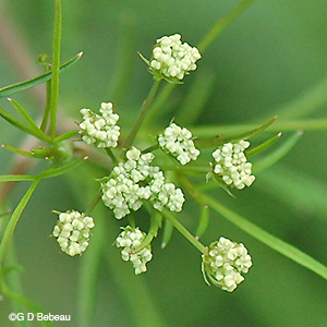 Bulblet Water Hemlock new flower umbel