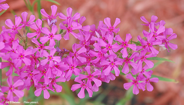 Downy Phlox flowers