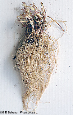 Downy Phlox root