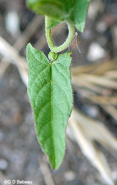 Field bindweed new leaf