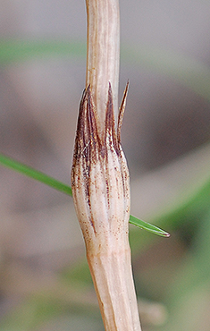 Fertile stem sheath