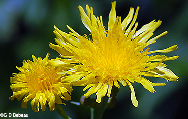 Field Sow Thistle flowers