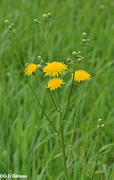 Field Sow Thistle plant