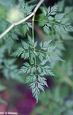 Fool's Parsley leaf
