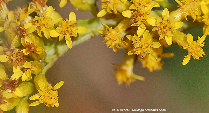 gray goldenrod flowers