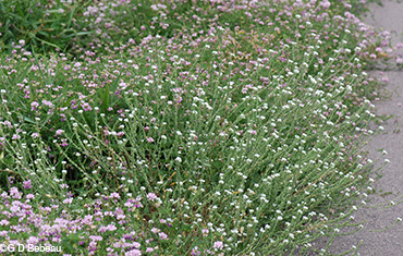 patch of alyssum and crown vetch
