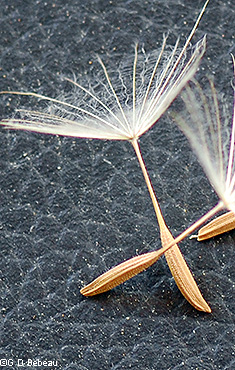 Seed and pappus