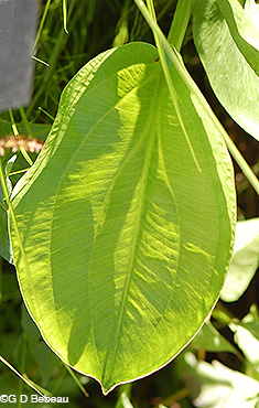 Northern Water Plantain leaf