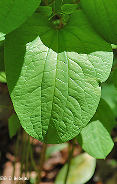 Roundleaf Greenbrier leaf