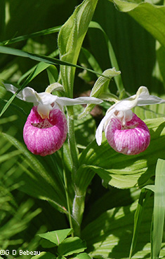 Showy Lady's-slipper 2 flowers
