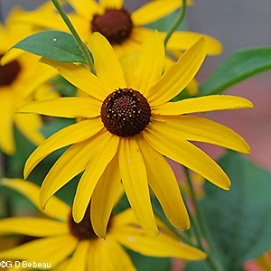 Sweet Black-eyed Susan