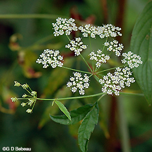 Water Hemlock flower umbel