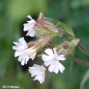 White Campion Flower cluster