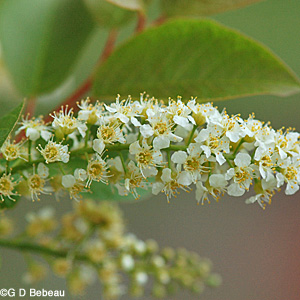 Chokecherry flower