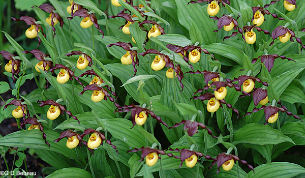 Yellow Lady's-slipper clump
