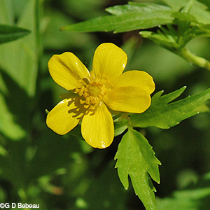 Swamp Buttercup flower