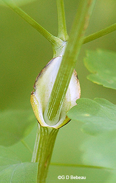 Stem leaf sheath
