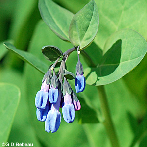 Virginia Bluebells buds