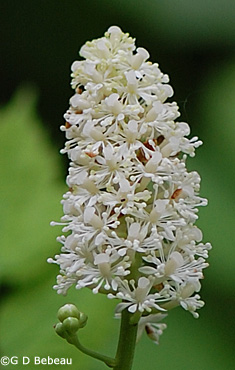White Baneberry flower