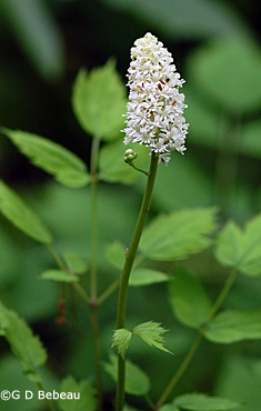 White Baneberry flower head