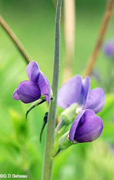 False Blue Indigo