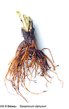 Wood Poppy Root