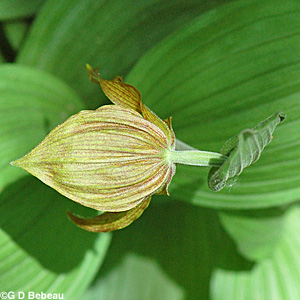 Yellow Lady's-slipper bud