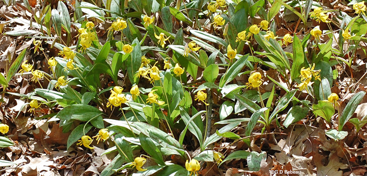 Trout-lily group