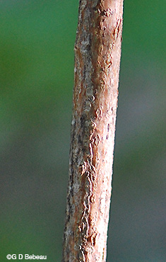 Beaked Hazelnut old stem