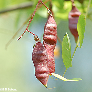 Seed pods