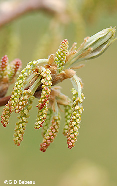 forming catkins