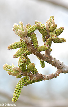 Male catkins forming