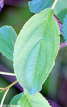 Common Buckthorn leaf