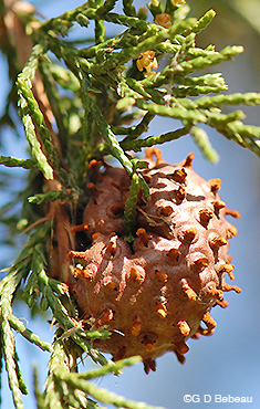 Eastern Red Cedar Apple Rust Gall
