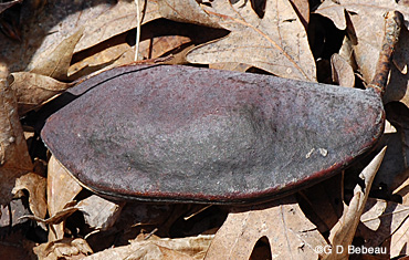 Kentucky Coffeetree seed pod