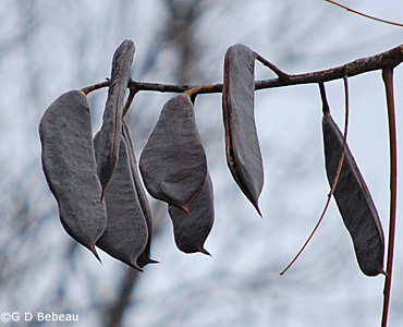 Kentucky Coffeetree seed pods