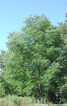 Kentucky coffeetree in summer