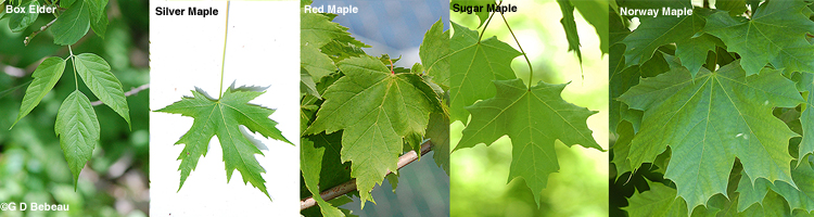 Maple Leaf comparison