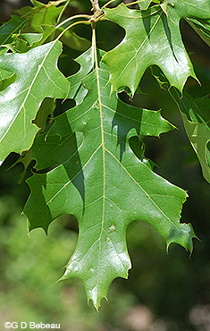 Northern Pin Oak leaf