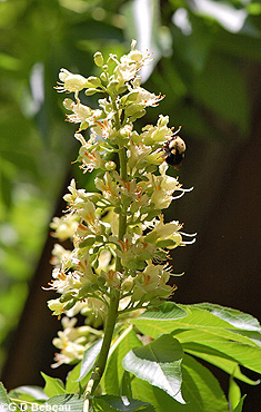 Ohio buckeye flowers