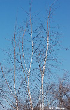 Paper Birch upper branches