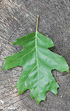 Red Oak leaf #1