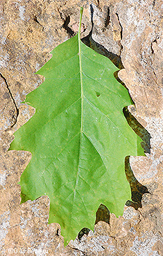 Red Oak Leaf #3